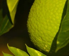Breadfruit in the plantation - Ifiele'ele Plantation private eco-retreat in Samoa