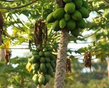 Esi trees at Ifiele'ele Plantation private eco-retreat in Samoa