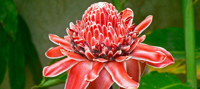 Teuila Flower