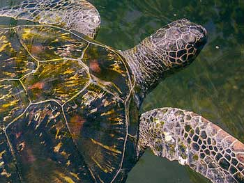 Turtle-feeding-samoa