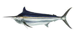 black-marlin