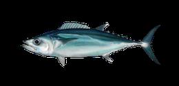 dogtooth-tuna
