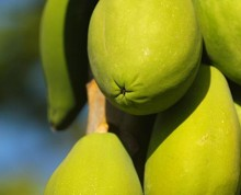 Esi fruit at Ifiele'ele Plantation private eco-retreat in Samoa