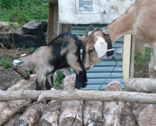 Goats are also part of the menagerie at Ifiele'ele Plantation luxury, self-contained, holiday rental in Samoa