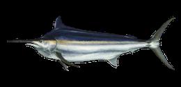 black-marlin